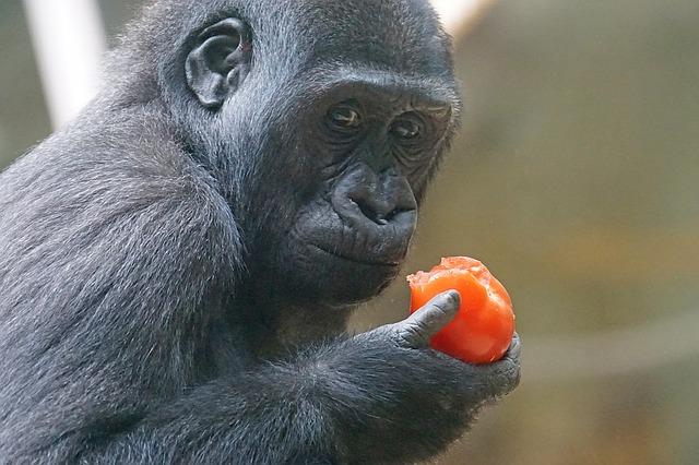 opice s rajčetem