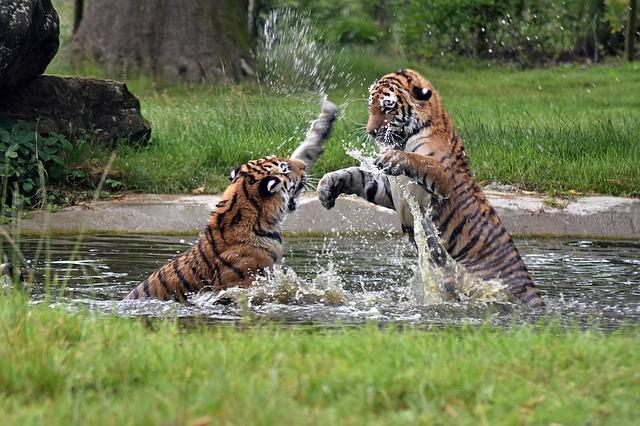 hra tygrů